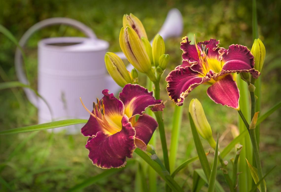 Top 10 szárazságtűrő évelő virág