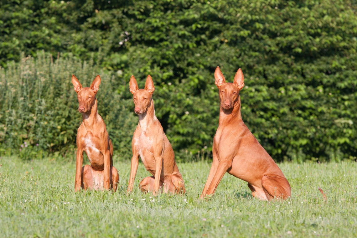 A 7 legritkább kutyafajta, amiről eddig nem hallottál