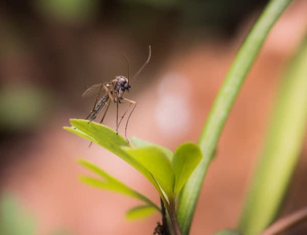 Szúnyogriasztás házilag, fillérekből – Tényleg működnek