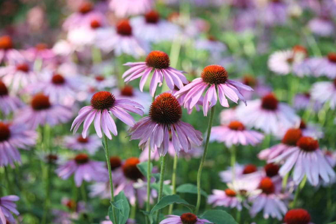 Egy csodálatos rákellenes virág, ami az immunrendszert is támogatja