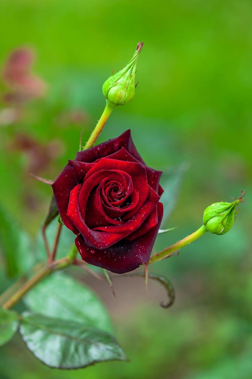 A vörös rózsa