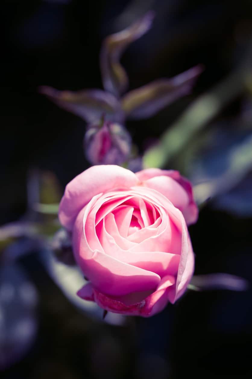 A világosabb rózsaszín rózsa