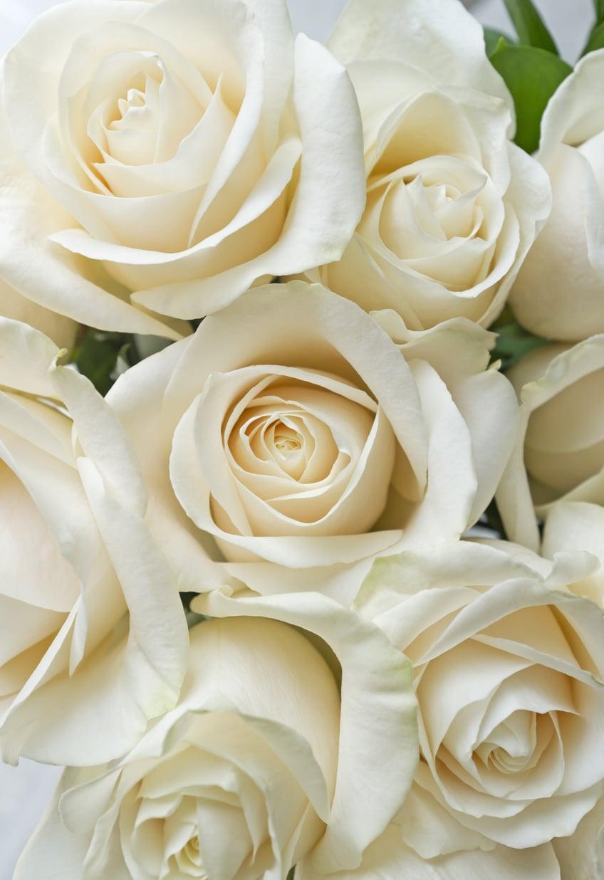 A fehér rózsa