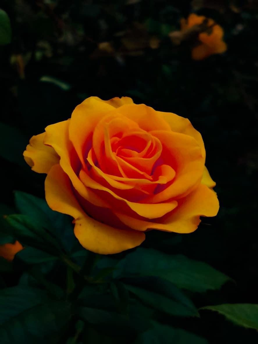A narancssárga rózsa
