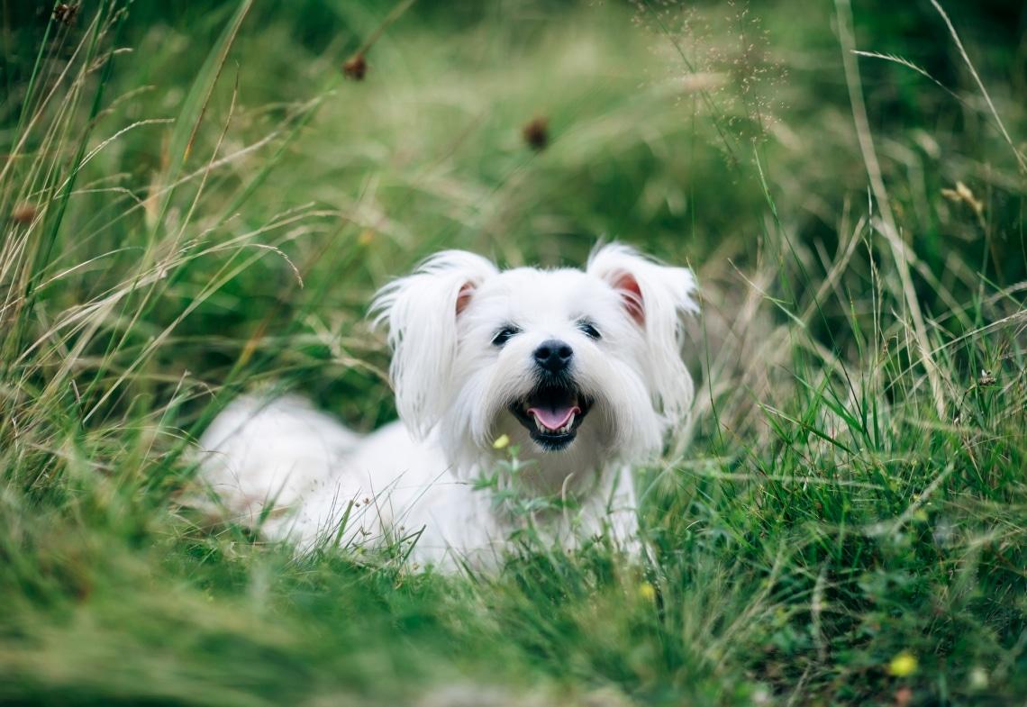 A világ 10 legkevésbé ismert, mégis nagyon különleges kutyafajtája