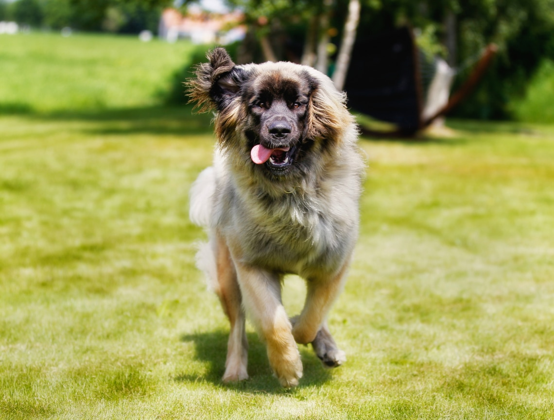 Ezek most a legkedveltebb nagytestű kutyafajták