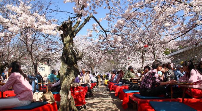 Így ünneplik a cseresznyefa virágzását Japánban és itthon
