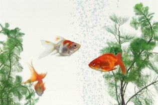 15 elképesztő tény az aranyhalról
