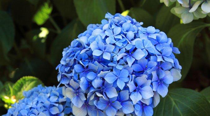 6 varázslatos kék virág kertbe és balkonra