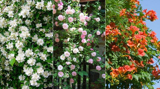 7 illatos kúszónövény kertbe, balkonra