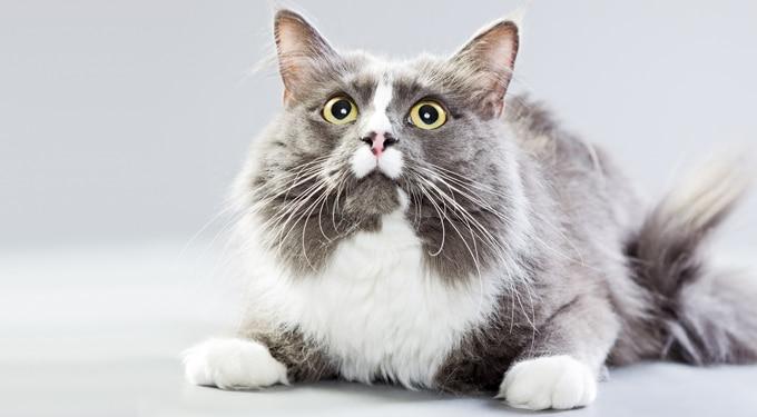 7 különleges házi macskafajta, amiről még lehet, hogy nem is hallottál
