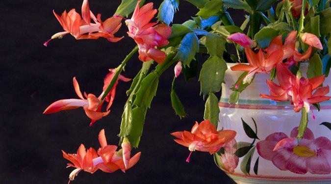 7 télen nyíló virág