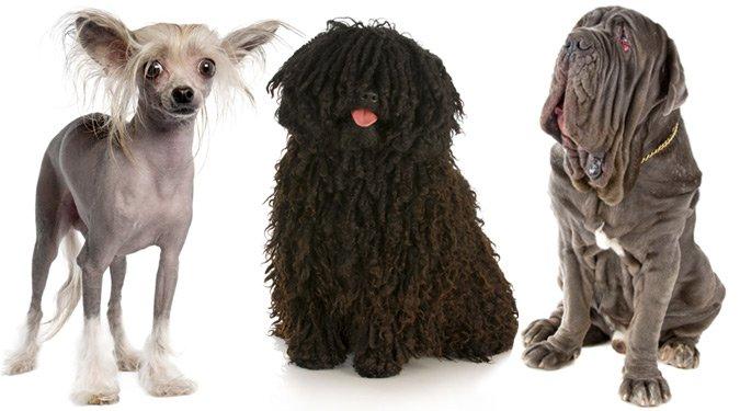 A 10 legfurcsábban kinéző kutyafajta