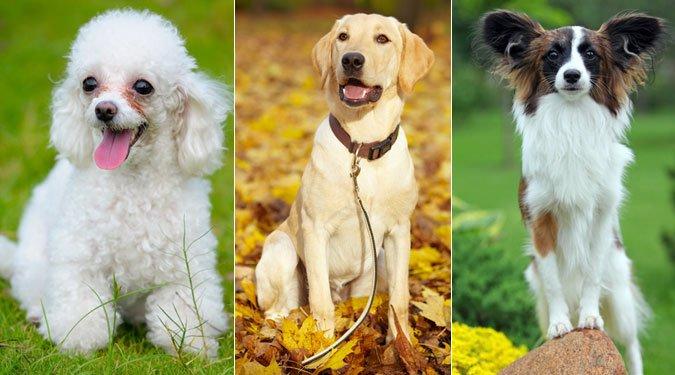 Kiderült, melyik a 15 legjobb családi kutyafajta. Egyetértesz?