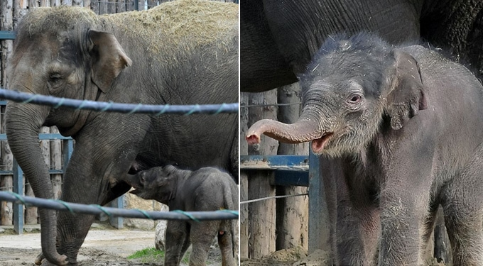 A kiselefánt megszületett és látogatható!