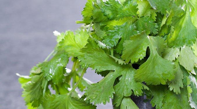 A koriander termesztése
