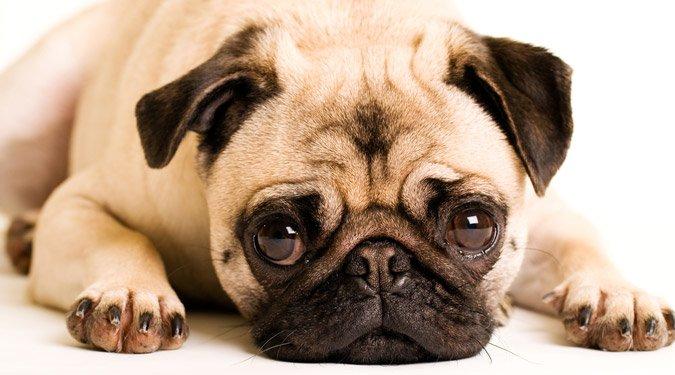 A legnépszerűbb társasági kutyafajták