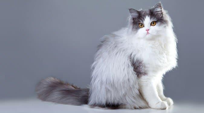 A szeretnivaló szőrmók, a perzsa macska