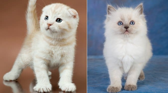 A világ 10 legszebb macskafajtája