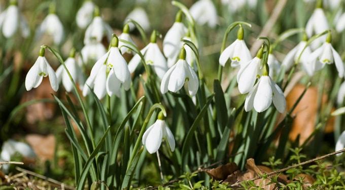 Bújnak az első hóvirágok – Hiedelmek, gyógyító tulajdonságai és termesztése