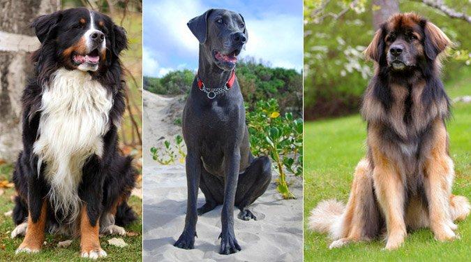 Ezek lennének a legkedveltebb nagytestű kutyafajták? Egyetértesz a listával?