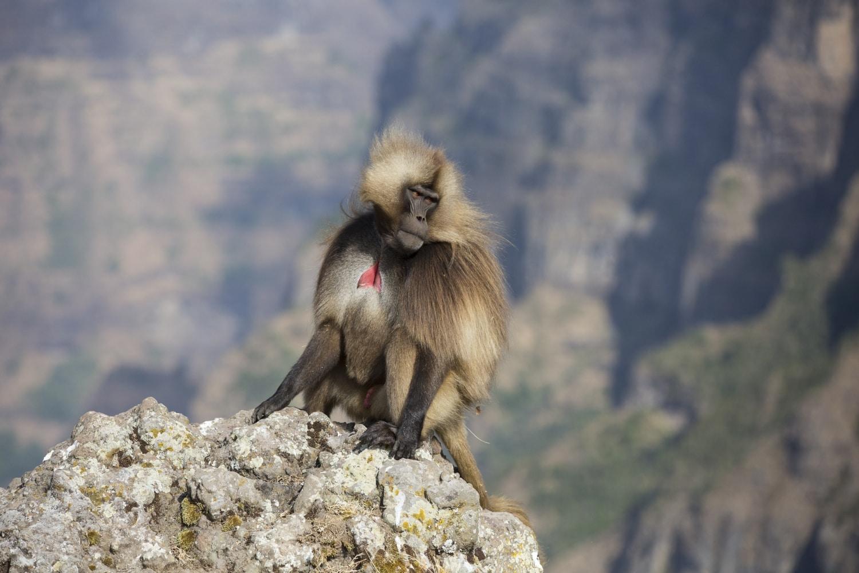 Háziasítják a majmok a farkasokat? Különös dolgok történnek Afrikában