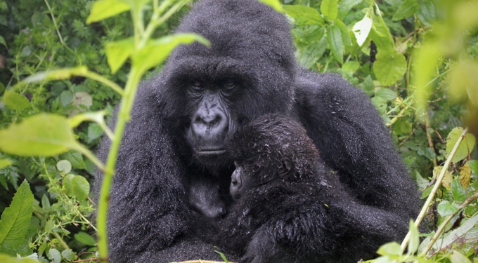 Ha Téged is lenyűgöznek a gorillák: Dian Fossey, a gorillák anyja