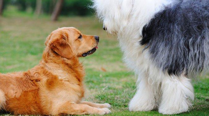 Hogyan szoktass egy másik kutyát a kutyusodhoz?