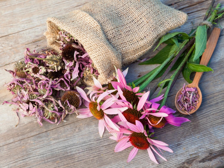 Immunerősítő szupernövénnyel a betegségek ellen – Ismered meg az echinaceát!