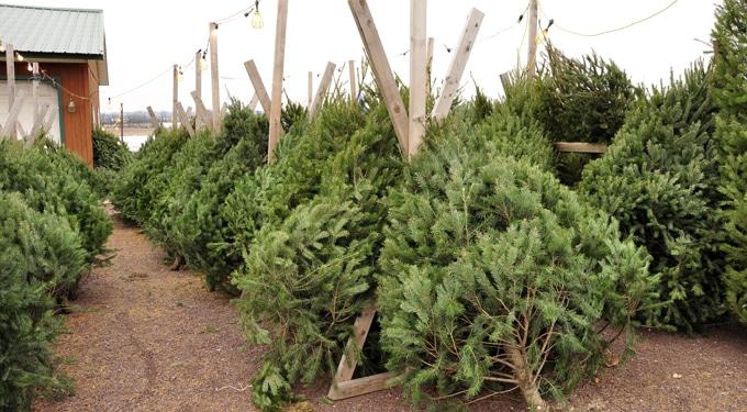 Karácsonyi fenyőválasztás: Fenyőfatípusok és jellemzőik