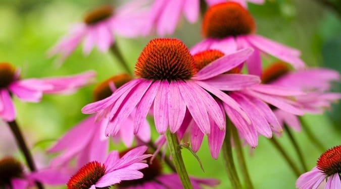 Kasvirág, az immunerősítő gyógynövényünk