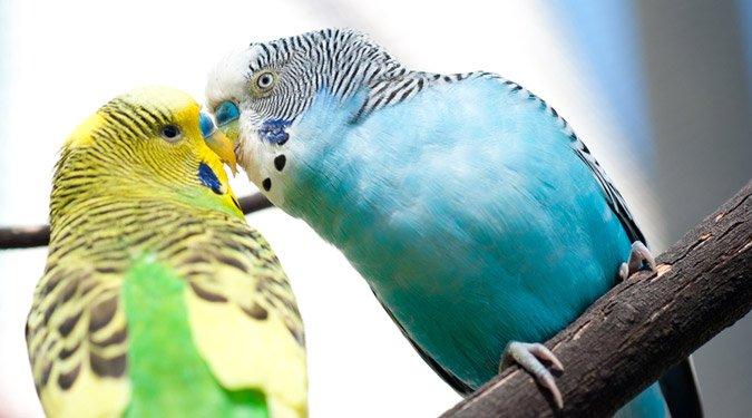 Lakásban tartható madárfajták