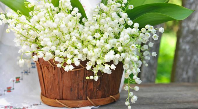 Lombos erdők májusi virága: a gyöngyvirág