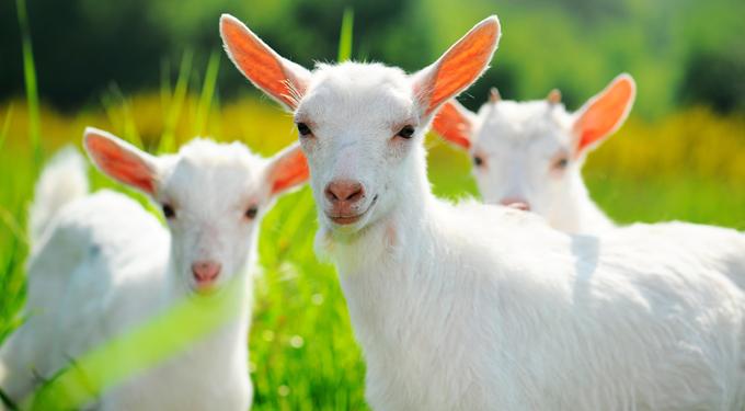 Mik a kecsketej egészségügyi hatásai?