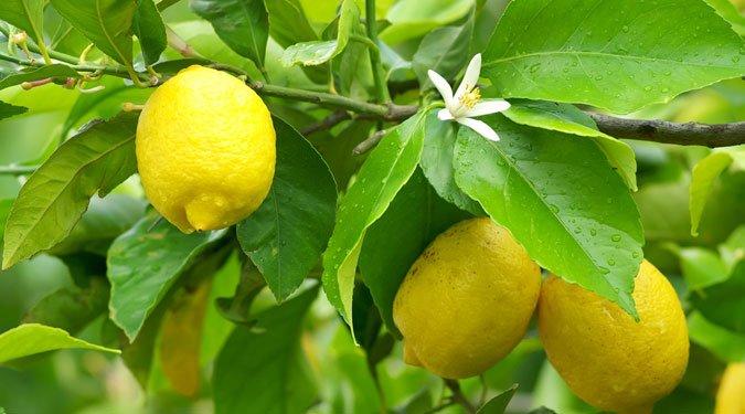 Neveljünk otthon citromfát