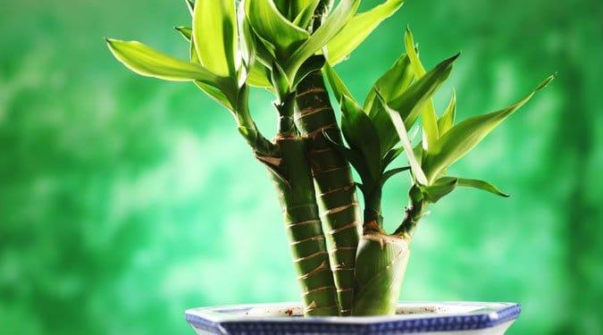 Sárkányfa – az elpusztíthatatlan szépség