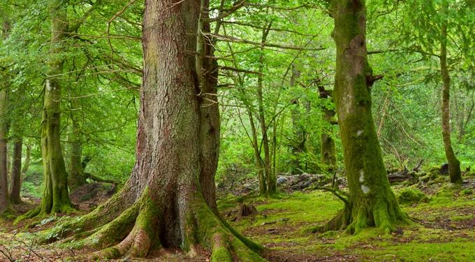 Több száz éves magyar fák, amiket meg kell nézned