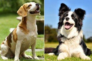 Top10 legokosabb és legbutább kutyafajta