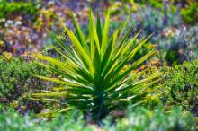 yucca paraziták