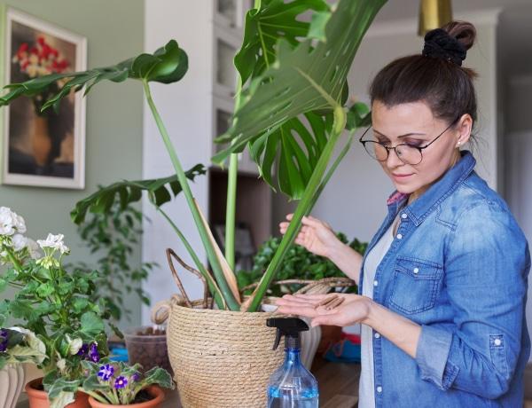 Ezek a trükkök segítenek életre kelteni a szobanövényeket, bármennyire is rossz állapotban vannak