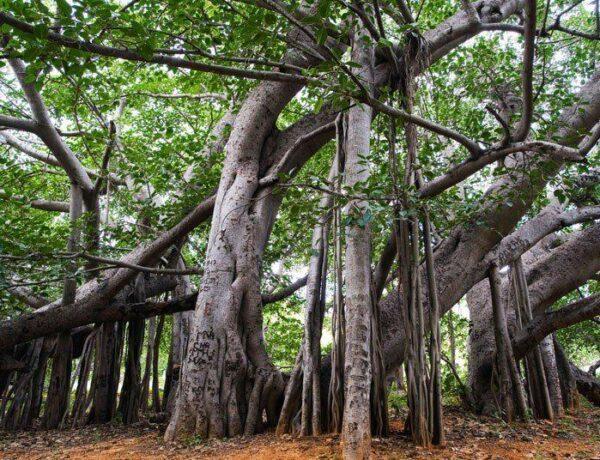 Önmagában is erdőméretű a világ legnagyobb fája – Több mint 500 éve nő