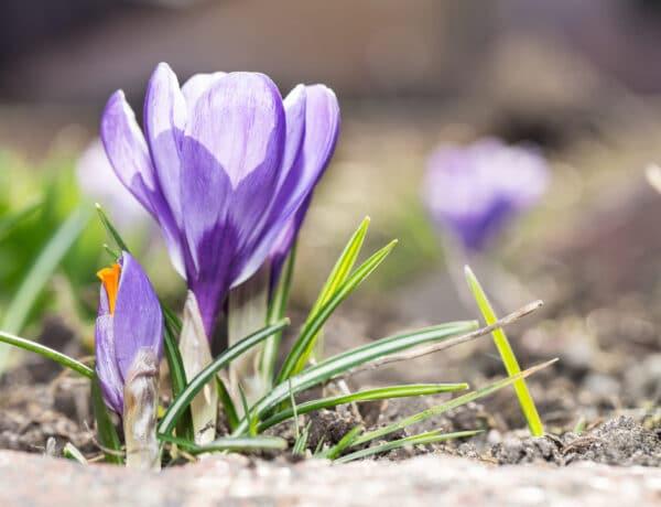 Ők a tavasz hírnökei: virágok, amik elsőként nyílnak ki a kertedben