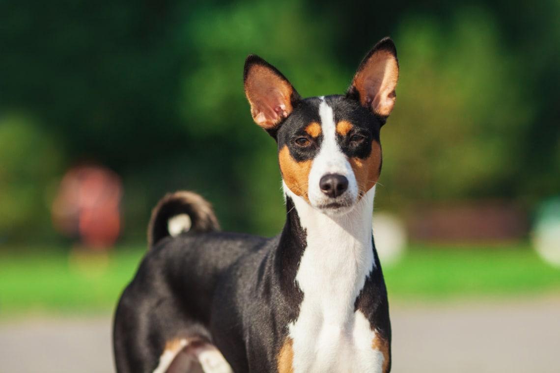 A világ 10 legősibb kutyafajtája: a kezdetektől az ember legjobb barátja