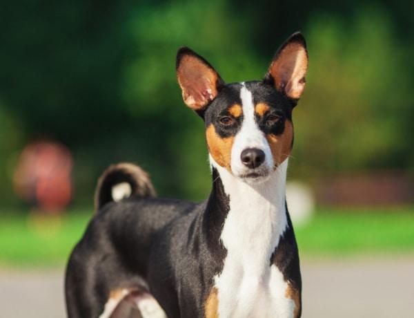 A világ 10 legősibb kutyafajtája: már a kezdetektől az ember mellett vannak