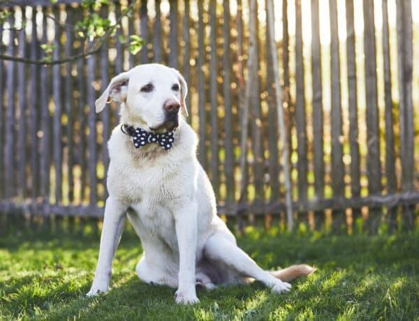 10 dolog, amit nem is tudtál a világ egyik legcsodásabb kutyafajtájáról, a labradorról