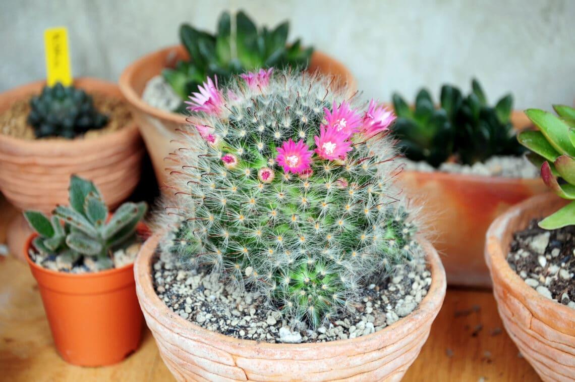 5 kaktuszfajta, ami gyönyörű virágot hoz: még te sem tudod kiirtani őket!