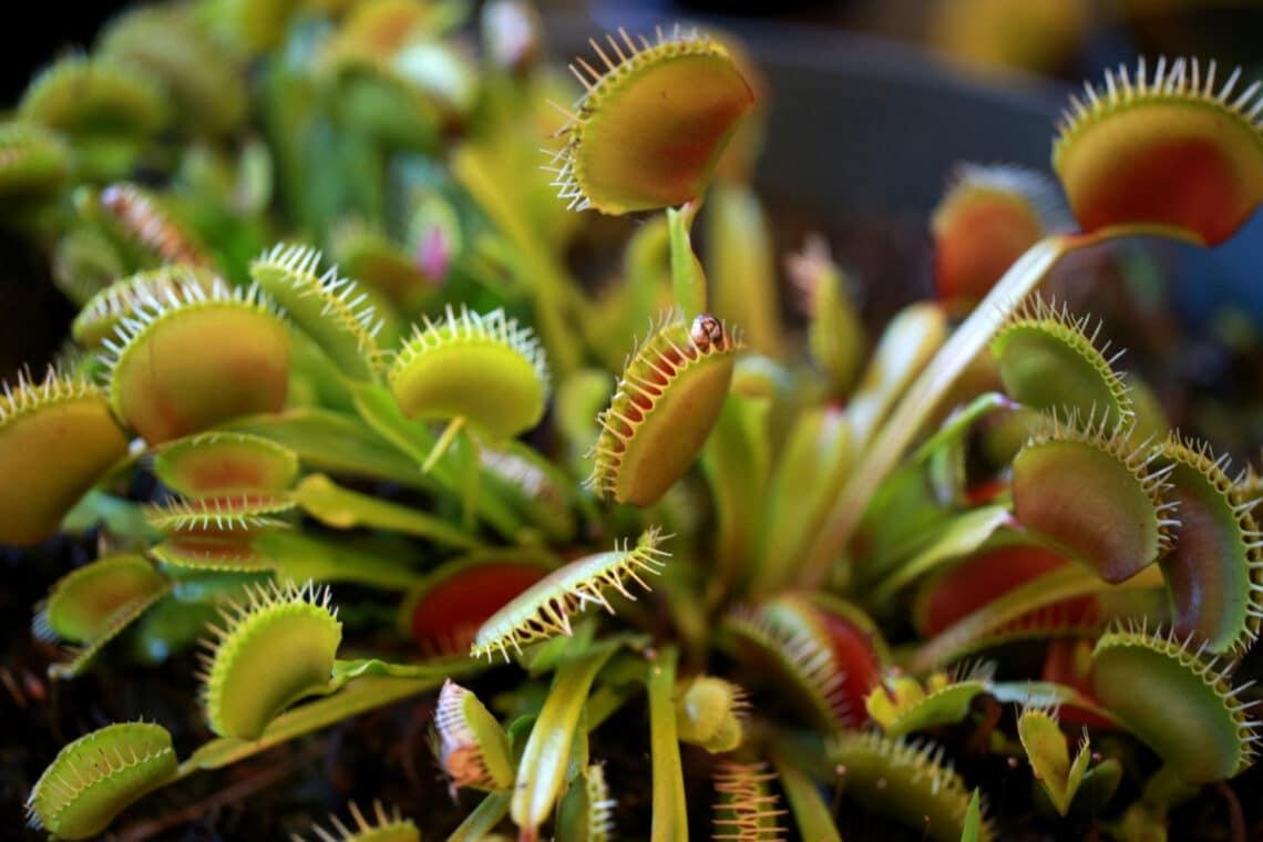 Húsevő növények a lakásodban? Tények, tévhitek, gondozási tanácsok