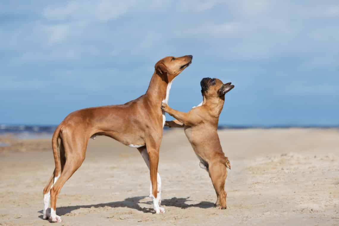 Különleges szépségű ritka kutyafajták: Felismered őket?