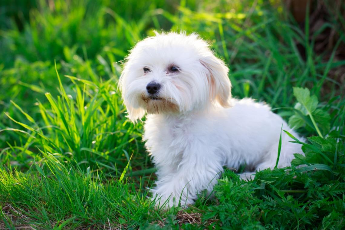 5 aranyos kisméretű kutyafajta, ha nincs nagy hely a lakásodban