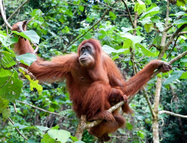 5 meghökkentő tény, amit nem tudtál az orangutánokról